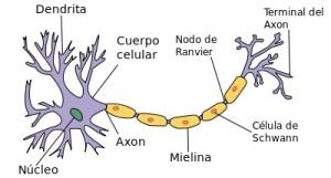 400px-Neurona_svg