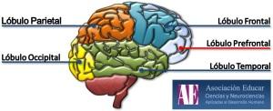 cerebrohumano