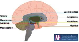 El cerebro emocional