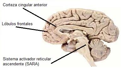 Cerebro atencional