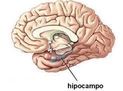 hipocampo memoria