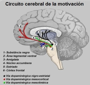Circuito cerebral de la motivacion